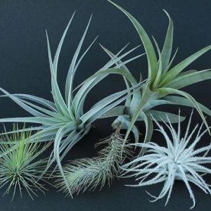 エアープランツ・多肉植物